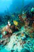 """Постер, картина, фотообои """"тропические рыбы вблизи красочных коралловых рифов"""""""