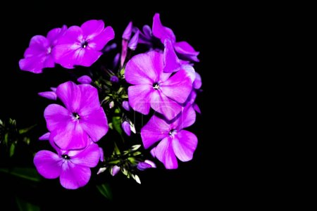 Bright phlox flowers isolated on black background.