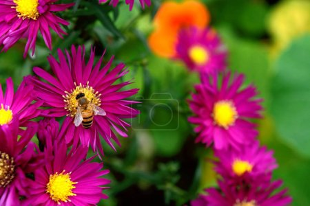 Honeybee collecting nectar and pollen from Michaelmas daisies