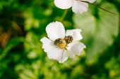 two beetle sitting on white flower in the forest. Blurred background. Insects in the forest. Nature