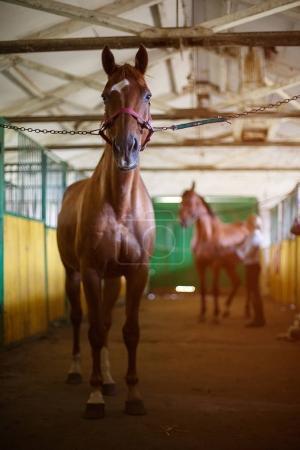 Photo pour Cheval brun adulte dans l'écurie. équitation aux Jeux. - image libre de droit