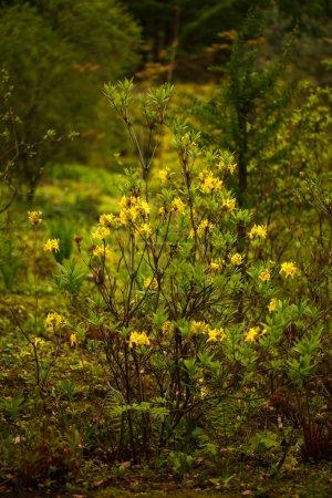Photo pour Fond de la fleur naturelle. Vue imprenable de nature du buisson de fleurs de printemps dans le jardin. Concept de flore et les fleurs - image libre de droit
