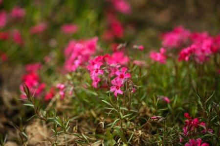 Photo pour Fond de la fleur naturelle. Vue imprenable sur nature fleurs rose qui fleurit dans le jardin sous le soleil au milieu de la journée d'été. - image libre de droit