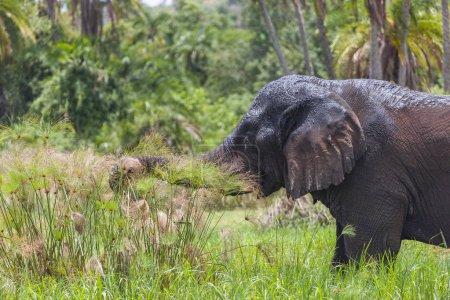 Old Elephant Bull munching shoreline grass