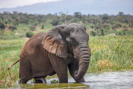 Old Elephant Bull in Akagera National Park