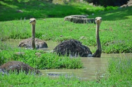 Ostriches taking a bath