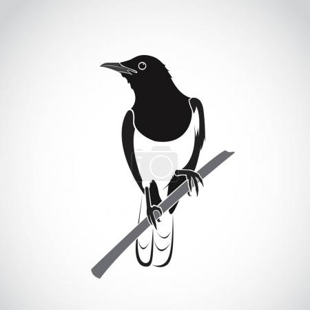 Vector of bird on white background. Oriental Magpie Robin (Copsy