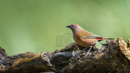 Jameson's Firefinch in Mapungubwe National park, South Africa