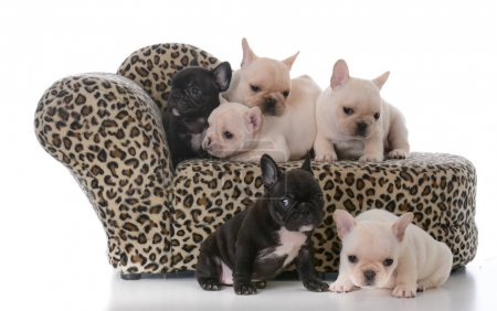 Photo for Litter of french bulldog puppies on a couch isolated on white background - Royalty Free Image