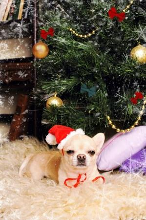 Chihuahua dog asleep under the christmas tree, new year card