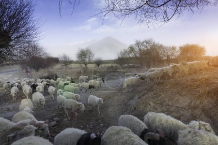 Photo for Grazing sheep on the farm - Royalty Free Image