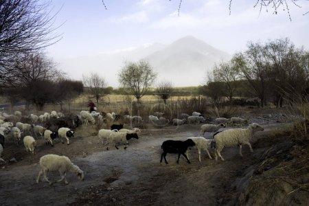 Photo pour Pâturage des moutons à la ferme - image libre de droit
