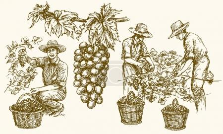 Worker cutting grapes from vines. Hand drawn illus...