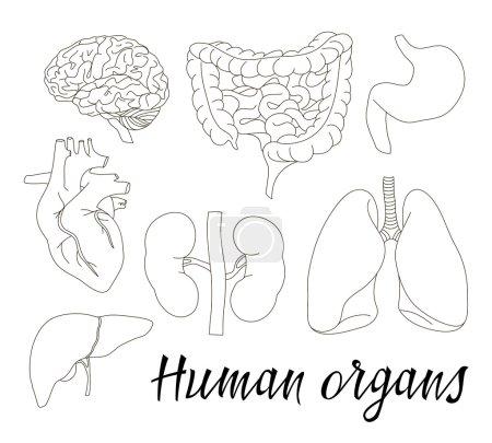 Illustration pour Différents organes humains fixés avec le cerveau coeur poumons estomac intestins reins isolés sur fond blanc illustration vectorielle - image libre de droit