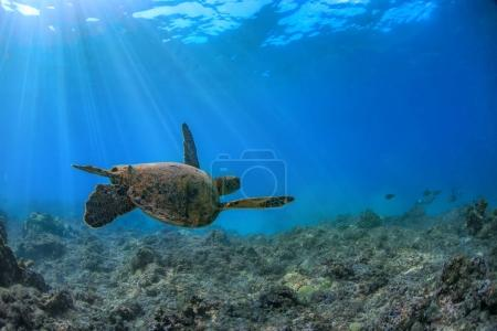 turtle in blue ocean