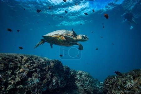 turtle in blue ocean