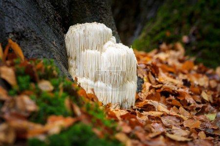 Rare Lion's mane mushroom in a Dutch forest