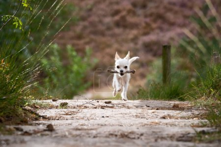 Cheerfully playing chiwawa puppy during an outdoor...