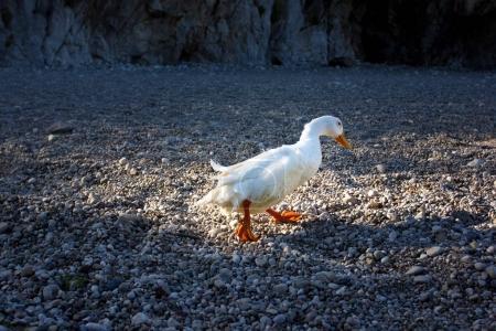 Photo pour Canard blanc marchant sur une plage de galets, concept nature - image libre de droit
