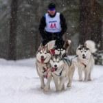 Sled dog racing. Husky sled dogs team pull a sled ...
