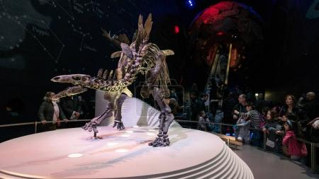 LONDON, UNITED KINGDOM - CIRCA JANUARY, 2018: Stegosaurus dinosaur skeleton in Natural History Museum. The museum collections comprise almost 70 million specimens from all parts of the world.