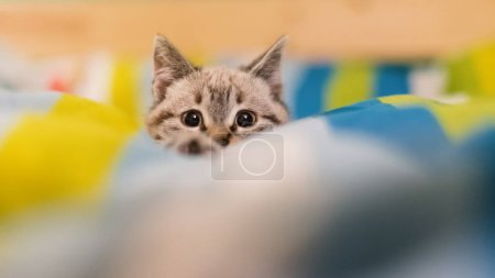 Curious little gray kitten portrait on the bed.