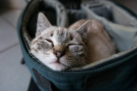 Sleepy little gray kitten portrait inside a bag.