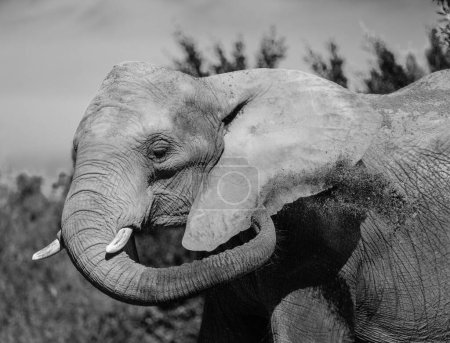 Elephant portrain in black and white.