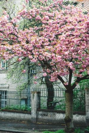 Photo pour Fleurs de cerisier de printemps, arbre en fleurs. Belles fleurs roses à Prague, République tchèque - image libre de droit