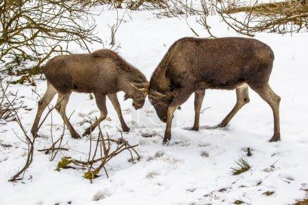 Moose or Elk