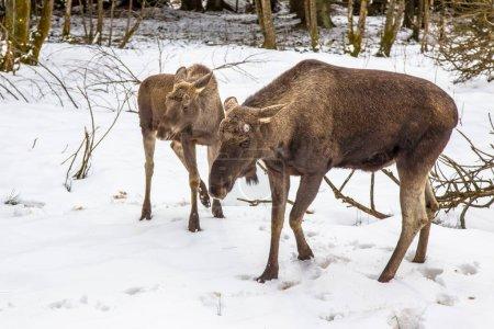 Moose or Elk with calf