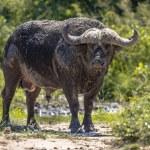 African buffalo (Cyncerus caffer) ox male bull aft...