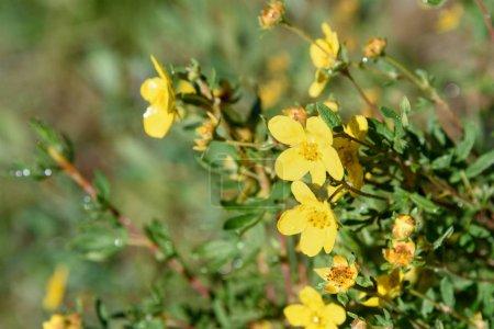Dasiphora fruticosa flowers