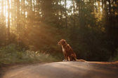 Dog Nova Scotia duck tolling Retriever walks in the forest
