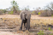 One single African Elephant walking in the distance. Wildlife Safari in the Kruger National Park, the main travel destination in South Africa. Front view, looking at camera.