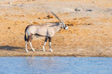 Oryx walking near waterhole in daylight. Wildlife Safari in Etosha National Park, the main travel destination in Namibia, Africa.