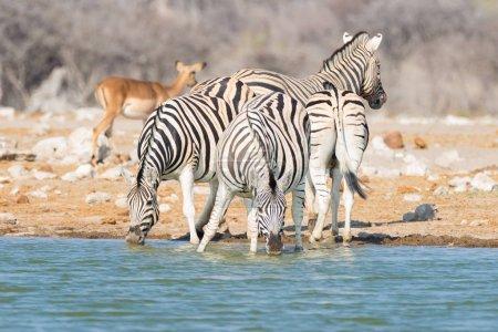 Herd of Zebras drinking from waterhole in the bush. Wildlife Safari in the Etosha National Park, travel destination in Namibia