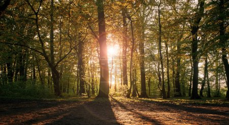 Photo pour Coucher de soleil dans une forêt féerique. Les rayons du soleil couchant brisent les feuilles des arbres. Parc arboré avec feuillage vert - image libre de droit