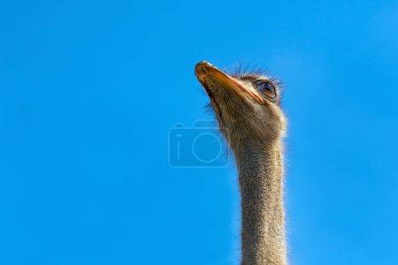 Photo pour Tête d'autruche gros plan. Tête d'autruche sur ciel bleu clair. Tête du plus grand oiseau sur fond bleu. Le plus gros oiseau. Un animal sauvage. Un bec fort, de grands yeux. Struthio camelus. Long cou et bec - image libre de droit