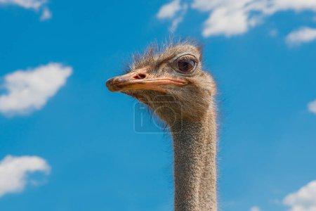 Photo pour Tête d'autruche sur fond de ciel clair. Le plus grand oiseau sur fond bleu. Oiseau africain sans vol qui court rapidement avec un long cou, de longues jambes et deux orteils sur chaque pied. Le plus grand oiseau vivant . - image libre de droit