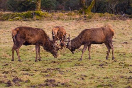 Butting Red deer