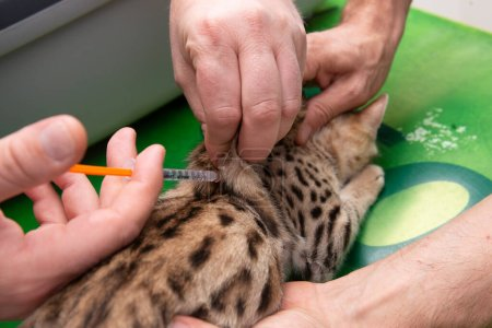 Photo for A cat is vaccinated on the vet's table - Royalty Free Image