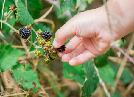 A hand of Children picking wild blackberries