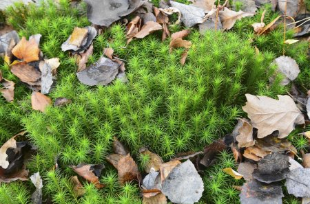 Swamp  sphagnum moss and fallen leaves. Texture,  ...