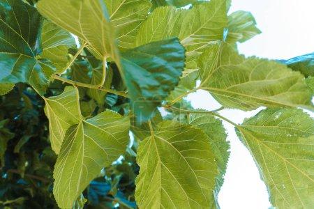 Photo pour Grande charpente Feuilles d'un arbre - image libre de droit