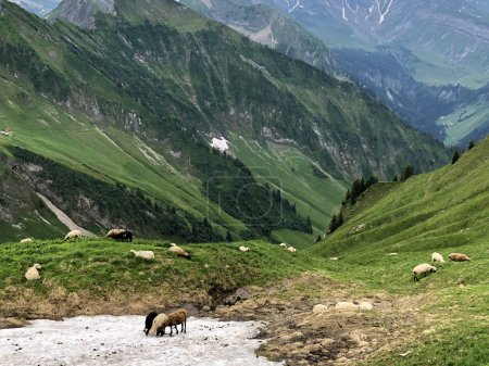 Sheeps on the grasslands in the Wagital valley or ...