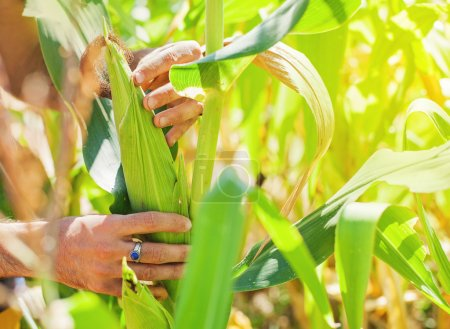 Hands picking corn from plant