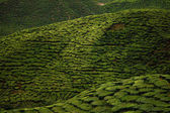 Cameron Highlands, tea plantation in Malaysia