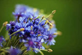 A bunch of cornflowers on green background