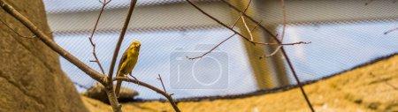 Portrait of a yellow grosbeak sitting on a branch,...